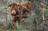 Con bò thoát thân trước khi đến lò mổ,