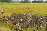 vịt nhiễm H5N1