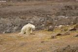 Con gấu Bắc Cực gầy đói xơ xác lục thùng rác tìm thức ăn (Video)