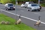 Người dân Canada dừng xe cho đàn ngỗng băng qua đường (video)