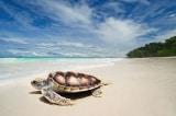 Rùa biển thoải mái đẻ trứng trên các bãi biển vắng vẻ du khách