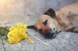 Chú chó bị điện giật chết vì bảo vệ chủ