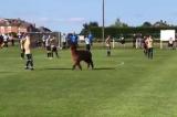 Trận bóng đá Anh phải dừng 15 phút vì một con lạc đà chạy vào sân