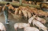 Nghiên cứu: Chủng virus corona mới lây từ lợn sang người