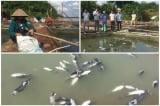 Cá lồng tại Phú Thọ lại chết thêm hàng chục tấn, thiệt hại hơn 3 tỷ đồng