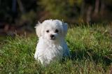 Chú chó nhỏ đi bộ 60 km trong 26 ngày để về nhà