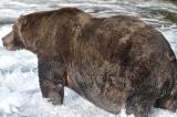 """Quán quân """"cuộc thi gấu béo"""" ở vườn quốc gia Mỹ"""