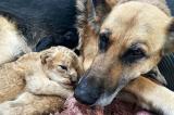Hình ảnh hiếm: Chó mẹ cho sư tử con bú thay sư tử mẹ