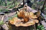 Gỗ lậu từ rừng nguyên sinh bị tàn phá 'chạy' vào nhà… tổ trưởng bảo vệ rừng